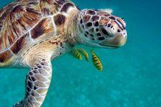 Fakta terbaru kura-kura di dunia, 6 dari 10 spesies sudah punah