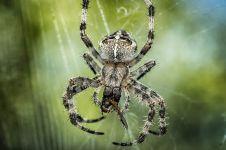 Laba-laba ini punya ukuran tak biasa, besarnya bikin bergidik