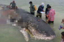 Paus sperma ditemukan mati di Wakatobi, isi perutnya sampah 5,9 kg