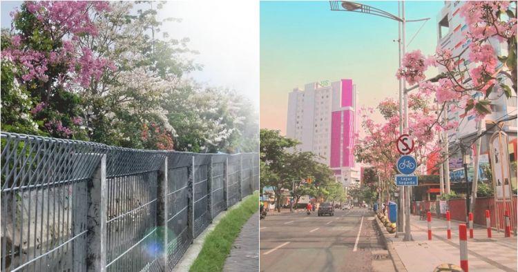17  Foto sakura mekar bikin jalanan Surabaya serasa Jepang