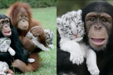 10 Potret persahabatan monyet dan anak harimau ini unik abis