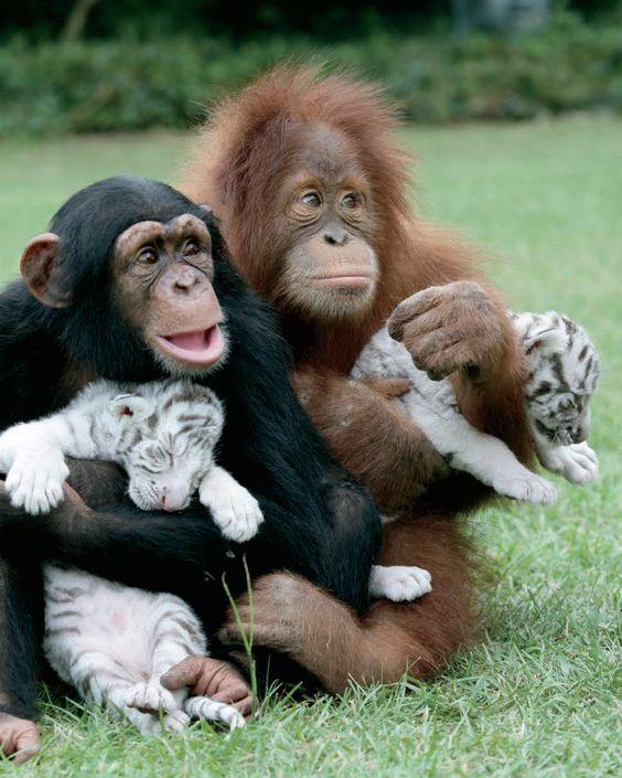 persahabatan monyet dan harimau instagram