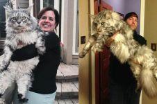 15 Potret kucing Maine Coon ukuran besar di dunia, bikin melongo