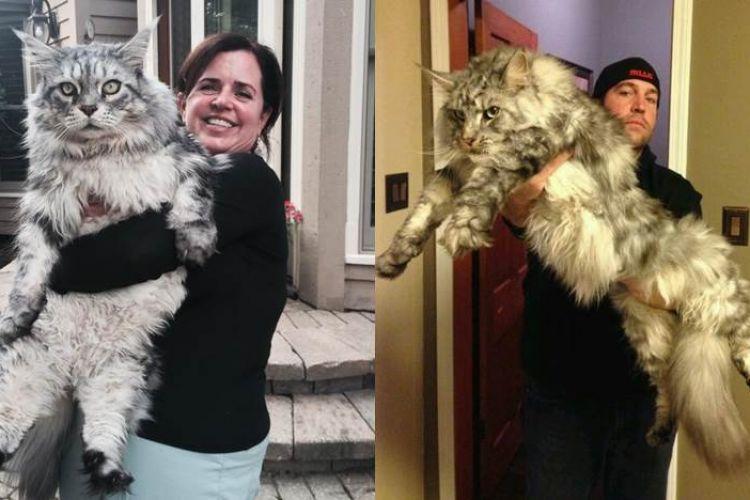 15 Potret Kucing Maine Coon Ukuran Besar Di Dunia Bikin Melongo