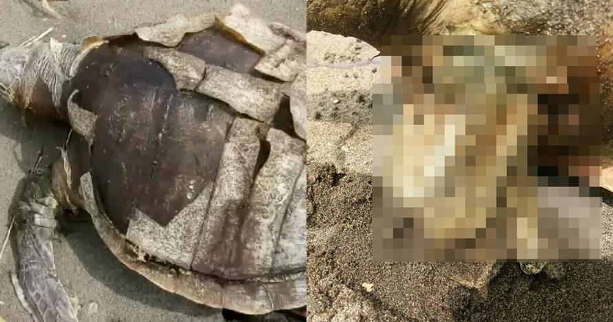Penyu mati dengan sampah plastik terburai di perut, miris