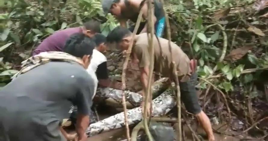 Detik-detik penangkapan ular raksasa 7 meter oleh warga, ngeri