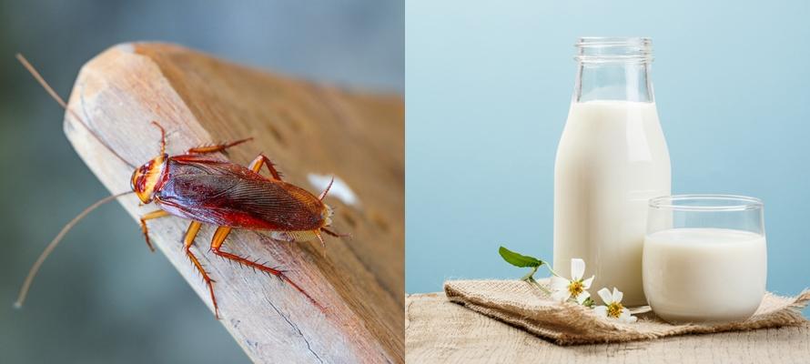 Susu kecoak diramal jadi minuman super masa depan