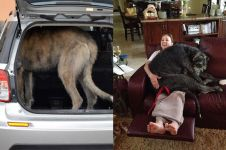 10 Aksi lucu anjing raksasa Irish Wolfhound, tak muat masuk mobil