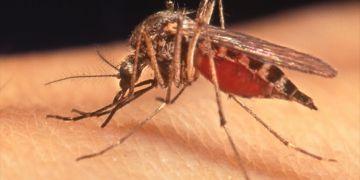 Waspadai demam berdarah, ini 10 cara alami & ampuh usir nyamuk