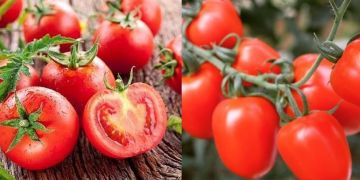 10 Manfaat tomat untuk kesehatan, bisa cegah kanker prostat