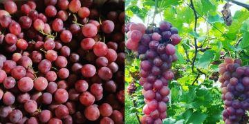 12 Manfaat anggur bagi tubuh, bisa membuat wajah awet muda