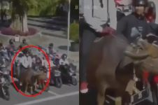 Naik kerbau di jalanan, pria ini terciduk CCTV Dishub