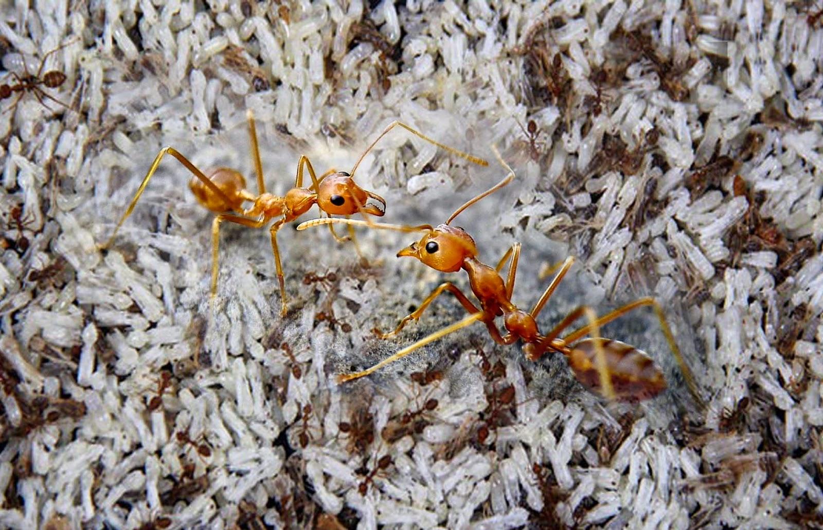 5 Manfaat semut rangrang yang tak terduga, jadi prospek bisnis