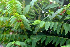 10 Manfaat daun katuk untuk kesehatan, cocok bagi wanita hamil