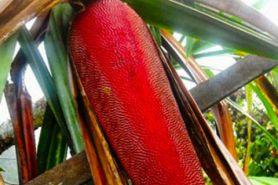 4 Manfaat buah merah asal Papua bagi kesehatan