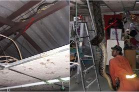 14 Potret evakuasi ular piton di atap rumah, panjangnya 6 meter