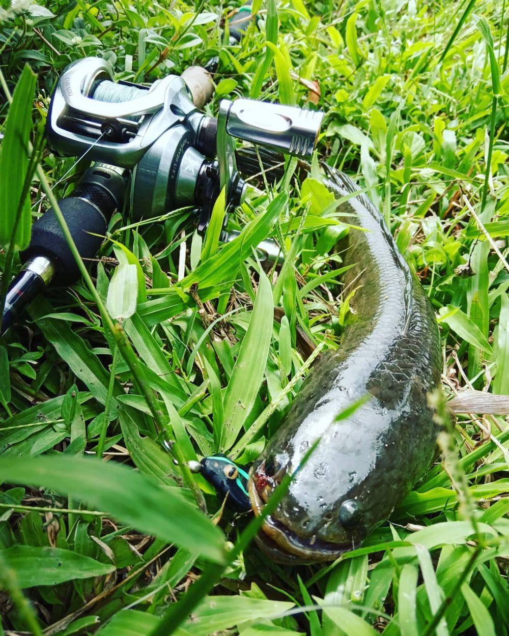 manfaat ikan gabus pixabay