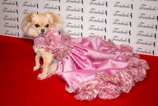 gaun mewah anjing © 2019 Istimewa