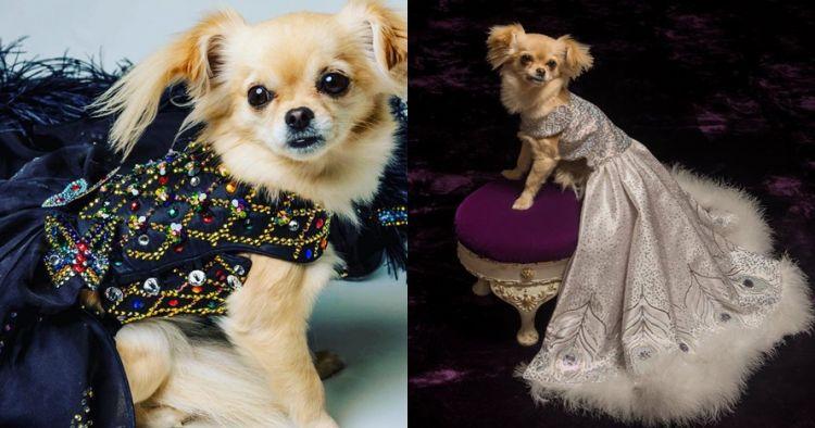 10 Gaun mewah anjing ini harganya fantastis, ada yang setara rumah