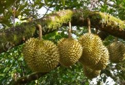 jenis durian © 2019 brilio.net