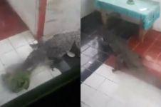 Detik-detik buaya masuk rumah warga usai banjir Sentani, ngeri
