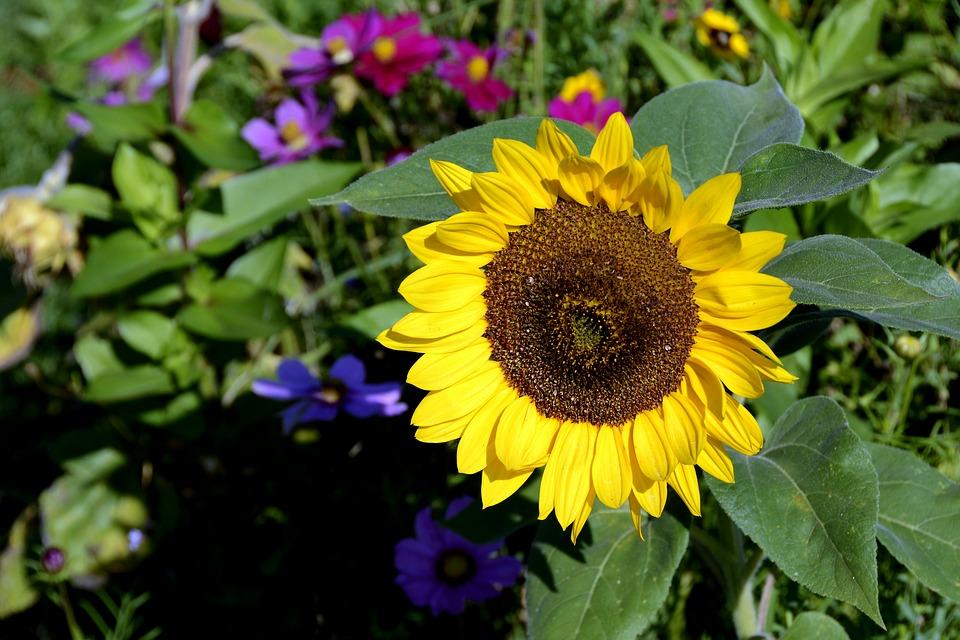 7 Manfaat Biji Bunga Matahari Untuk Kesehatan Menangkal Kanker