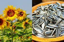 7 Manfaat biji bunga matahari untuk kesehatan, menangkal kanker