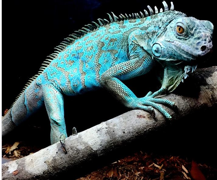 Iguana tercantik di dunia © 2019 brilio.net