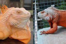 8 Iguana paling cantik, bisa jadi inspirasi kamu pelihara hewan reptil