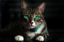 Penelitian ungkap kemampuan kucing merespons panggilan majikan