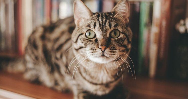 Ini alasan ilmiah untuk pelihara kucing di dalam rumah