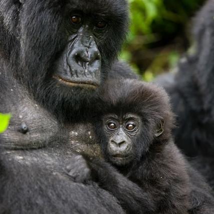 Pose gorila saat foto bareng pengasuhnya ini curi perhatian