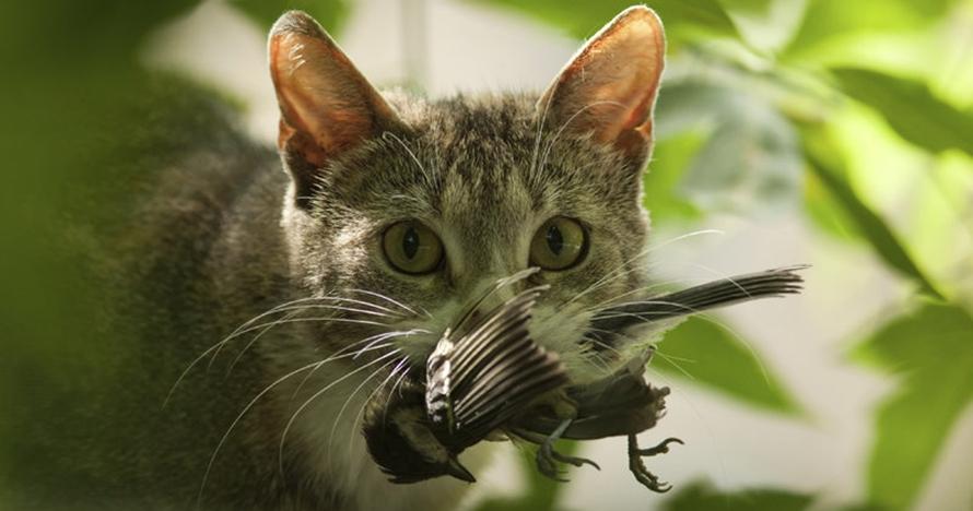 Jumlah burung yang terbunuh kucing setiap tahunnya mencengangkan