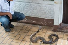 Pria ini gigit balik ular setelah dia digigit, dua-duanya tewas