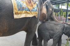 Dipaksa tampil hibur turis, bayi gajah ini terkapar di jalan
