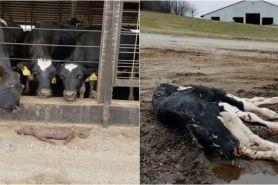 10 Perlakuan brutal terhadap hewan ternak ini bikin ngelus dada