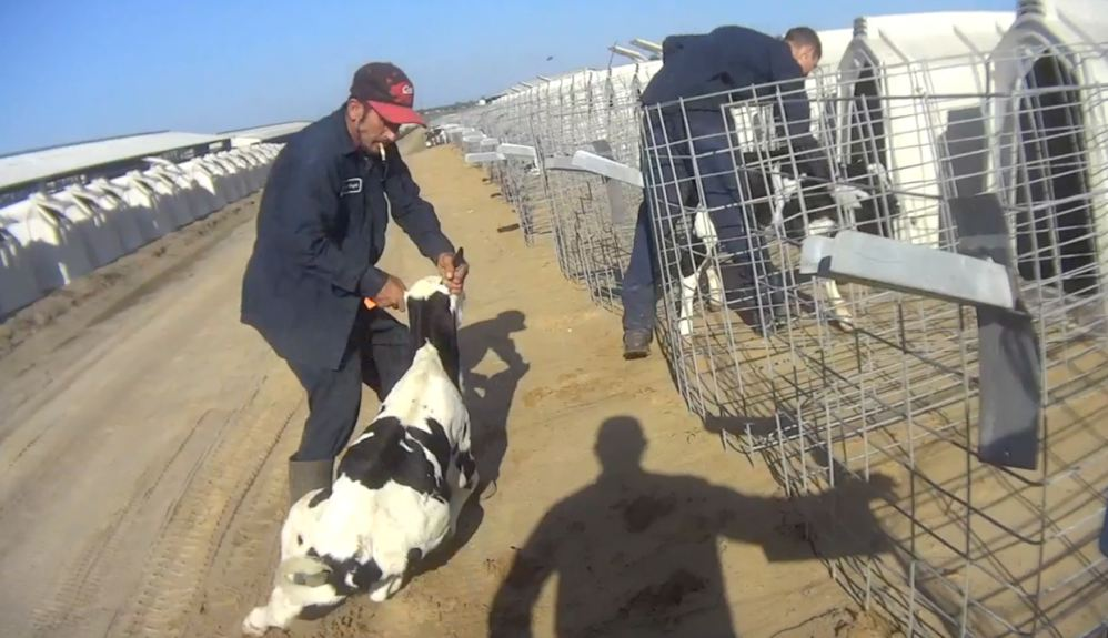kekerasan pada hewan ternak © animalrecoverymission.org