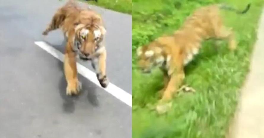 Viral pemotor nyaris diterkam harimau, ini faktanya