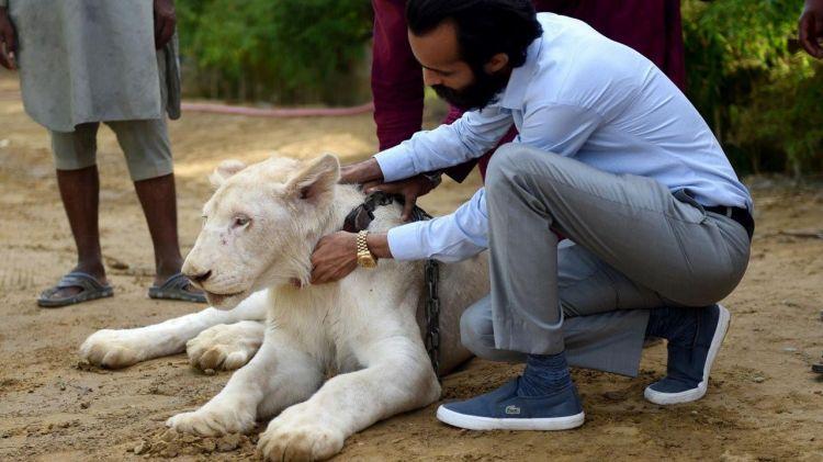 Pria ini pelihara 800 harimau dan singa, jadi simbol kekayaan
