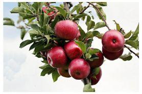 9 Manfaat apel untuk kesehatan, ampuh turunkan berat badan
