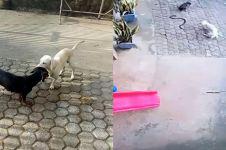 Kisah haru anjing mati saat lindungi majikan dari ular kobra