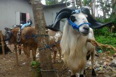 Mahasiswa UGM temukan cara cegah kambing stres pakai rumput laut