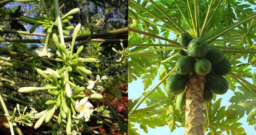 8 Manfaat bunga pepaya untuk kesehatan, tingkatkan nafsu makan