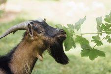 5 Ketentuan ibadah kurban dalam Islam, termasuk pembagian daging