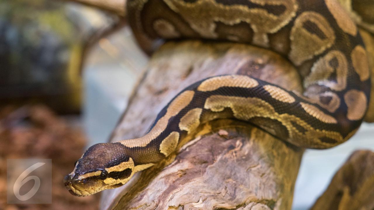 Digigit ular, pria ini balas menggigit dan mengoyaknya hingga mati