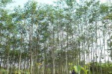 Dituduh penyebab listrik PLN padam, ini lho manfaat pohon sengon