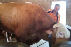 Jokowi borong sapi Boyolali beratnya di atas satu ton untuk kurban