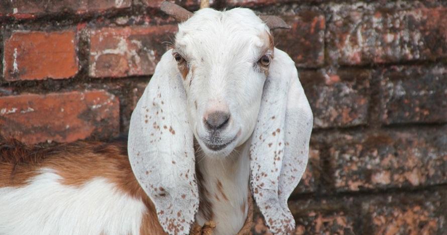 Cara menangani kambing tetap tenang saat akan disembelih