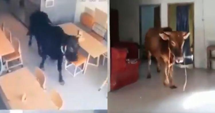 4 Momen sapi kurban lepas sebelum disembelih, ada yang masuk resto
