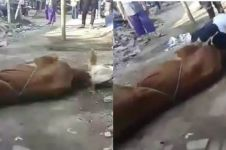 Viral pria di Cimahi meninggal sebelum sembelih sapi, ini faktanya